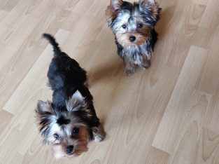 Miniature Yorkshire Terrier full breed puppies