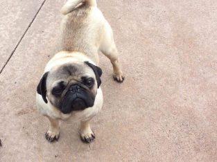Pug dog for stud service