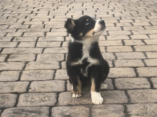 Sheep dog pups for sale