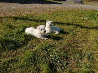 WestieX Maltese Puppies