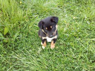 Husky x Collie cross for sale