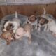 Jack Russell For Stud in Tuam ireland