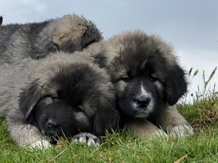Caucasian mountain dogs for sale Wexford