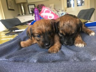 Yorkshire border terrier pup for sale