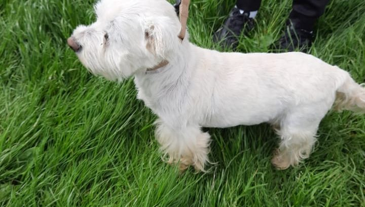 West highland terrier for sale Male