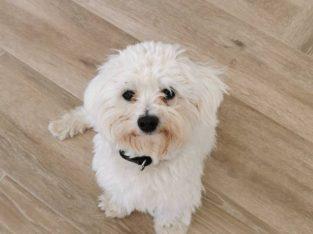 Maltese dog for stud services