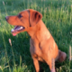 Fox Red Labrador for Stud Galway