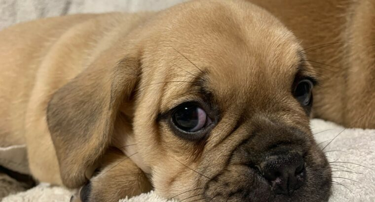 Puggle for sale Carlow Ireland