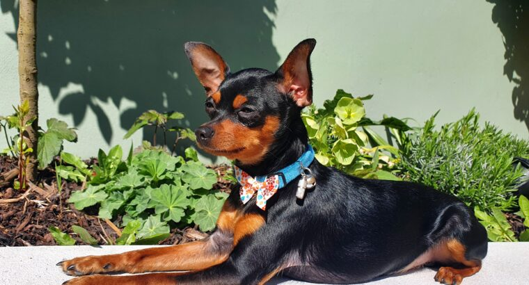 Russian toy terrier Stud dog