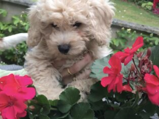 Poochon Pups for sale Wexford