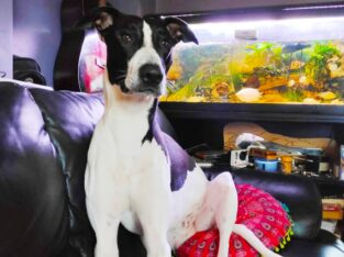 Bull Lurcher for stud County Clare