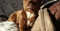 chihuahua for stud – Stunning short hair chocolate