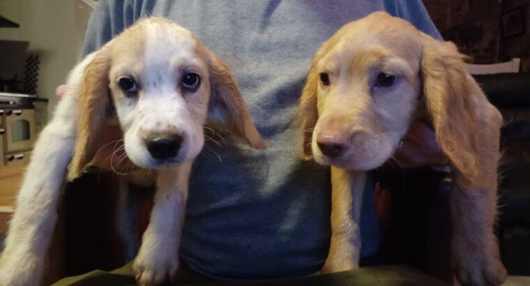 Sprocker x sprollie pups Cavan