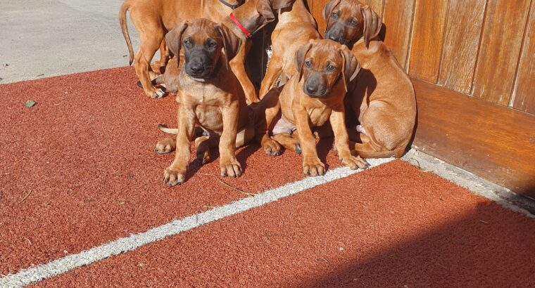 Rhodesian ridgeback puppies cork