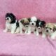 Bichon cross puppies Galway