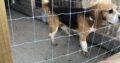 Beagle for stud Tipperary