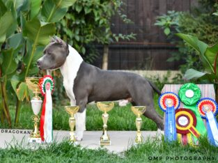 Pure breed American Staffordshire Terrier