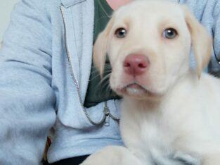 Golden Labrador pups Wexford