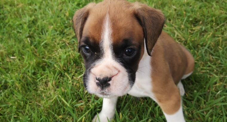 Boxer Pups for Sale Wexford