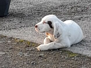 Llewellin Setter female pup co laois