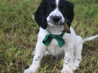Sprocker pups Tralee 8 weeks old