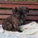 Cairn x Jack Russell mix puppies Sligo