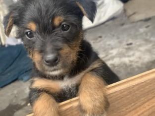 Miniature Yorkshire terrier Cross pups for sale