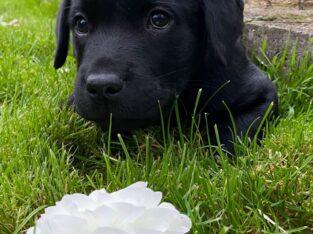 Purebred Labrador. IKC Registered