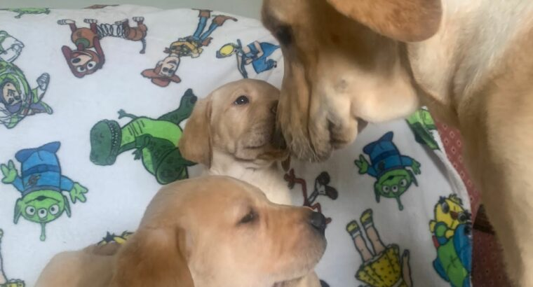 Labrador puppies Buttevant Ireland
