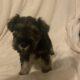 Miniature Schnauzer Puppies Enniscorthy