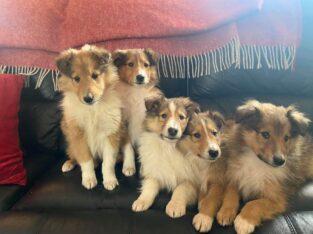 Rough Collie Pups Drumshanbo