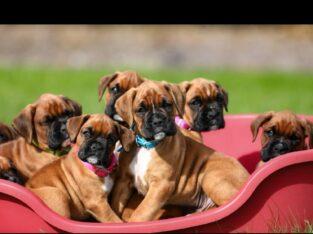 Quality Boxer Puppies Cork