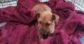Yorkshire X Terrier pup Rathdowney
