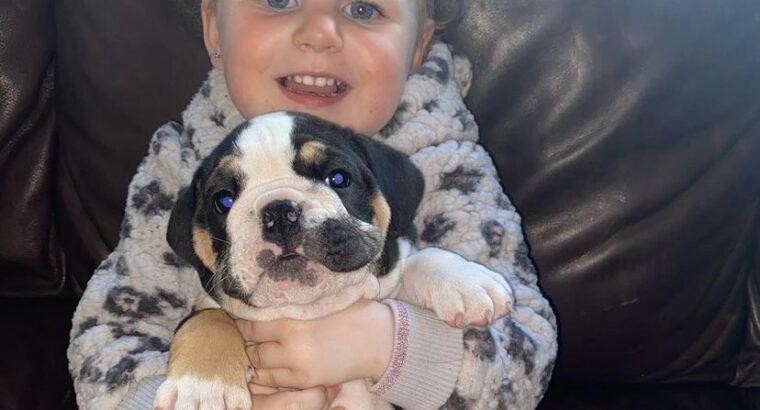 English bulldog for sale Blessington