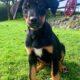 Rottweiler X Border Collie Cork