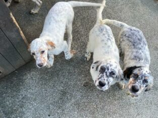 English Setters – Wonderful addition to a family