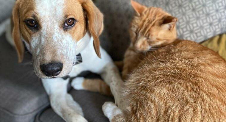 Male Beagle Pup – 1 year old beagle