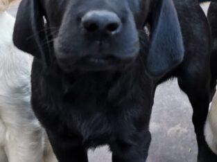 Goldador puppies wexford Ireland