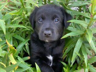 Adorable Border Collie x Beagle mix puppy for sale