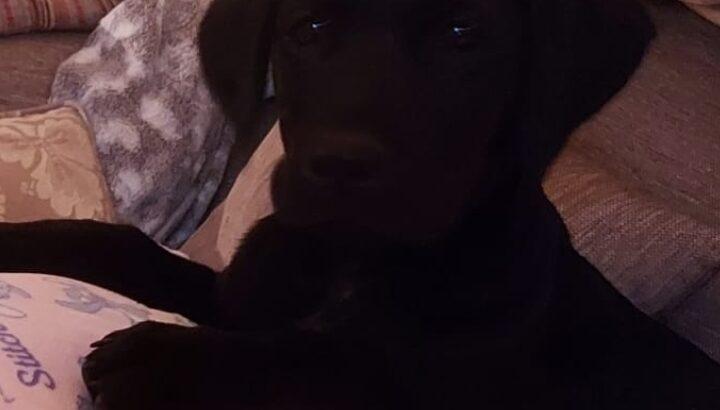 Labrador pup co kerry