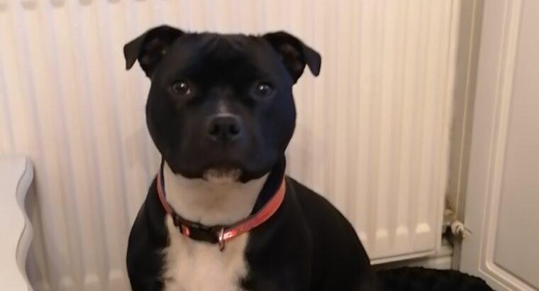 Staffordshire Bull Terrier Limerick